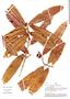 Naucleopsis ulei subsp. amara (Ducke) C. C. Berg, Peru, A. H. Gentry 36547, F