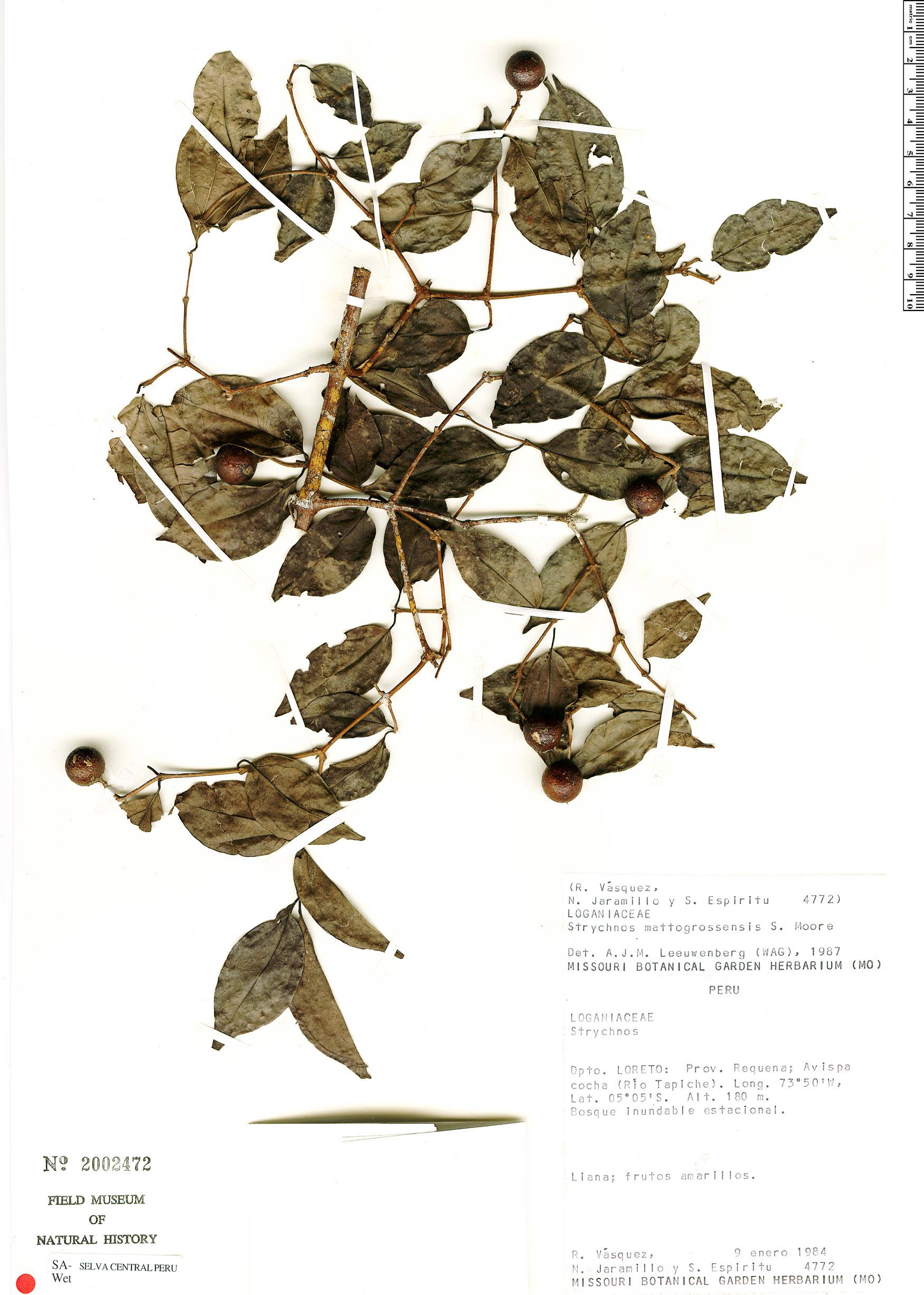 Specimen: Strychnos mattogrossensis