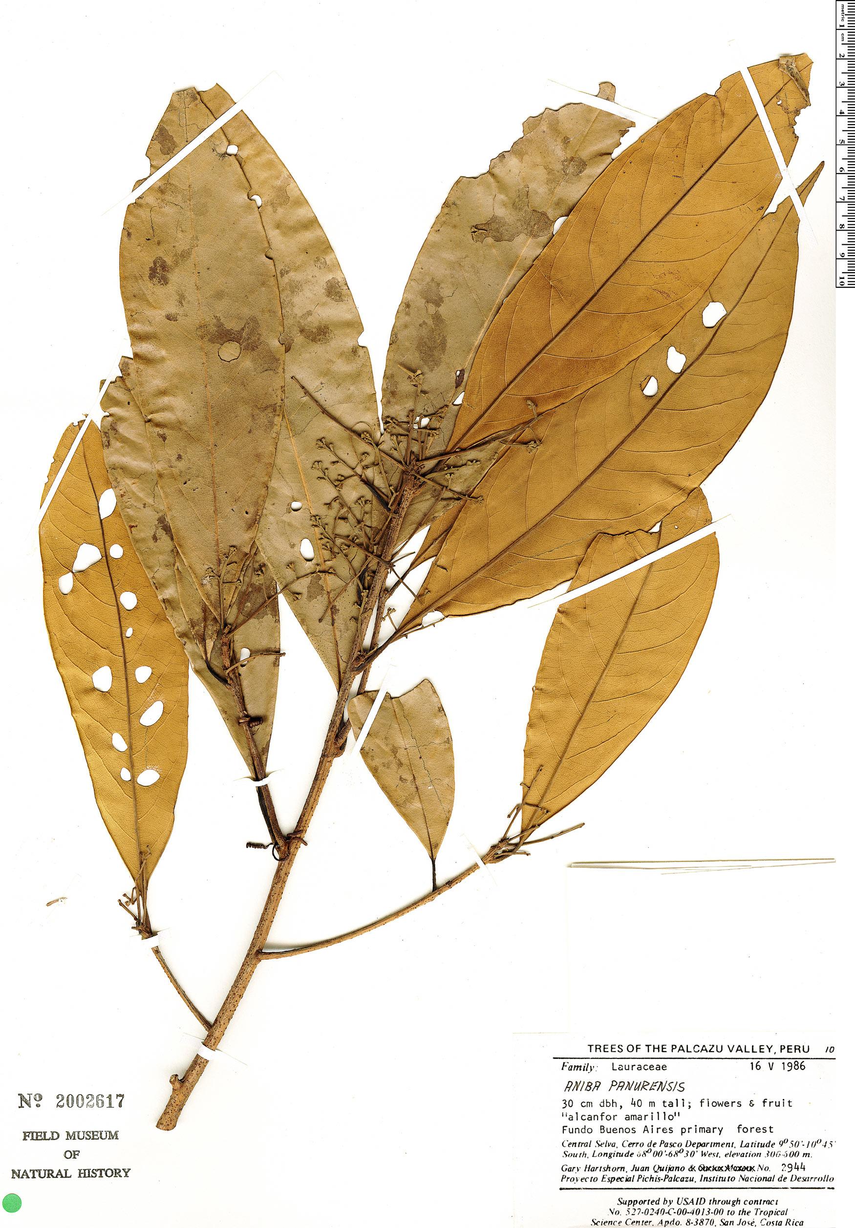 Specimen: Aniba panurensis