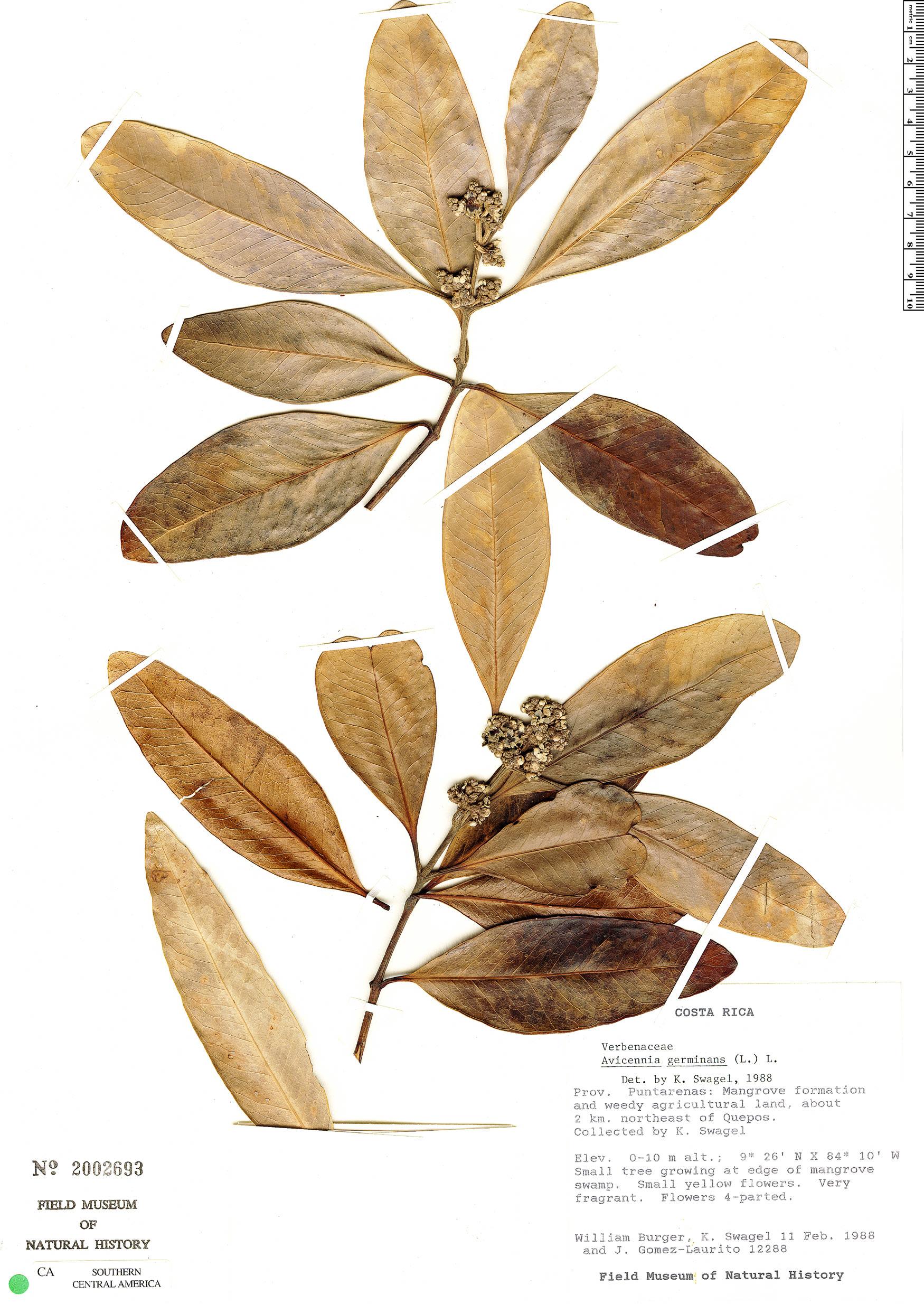 Specimen: Avicennia germinans