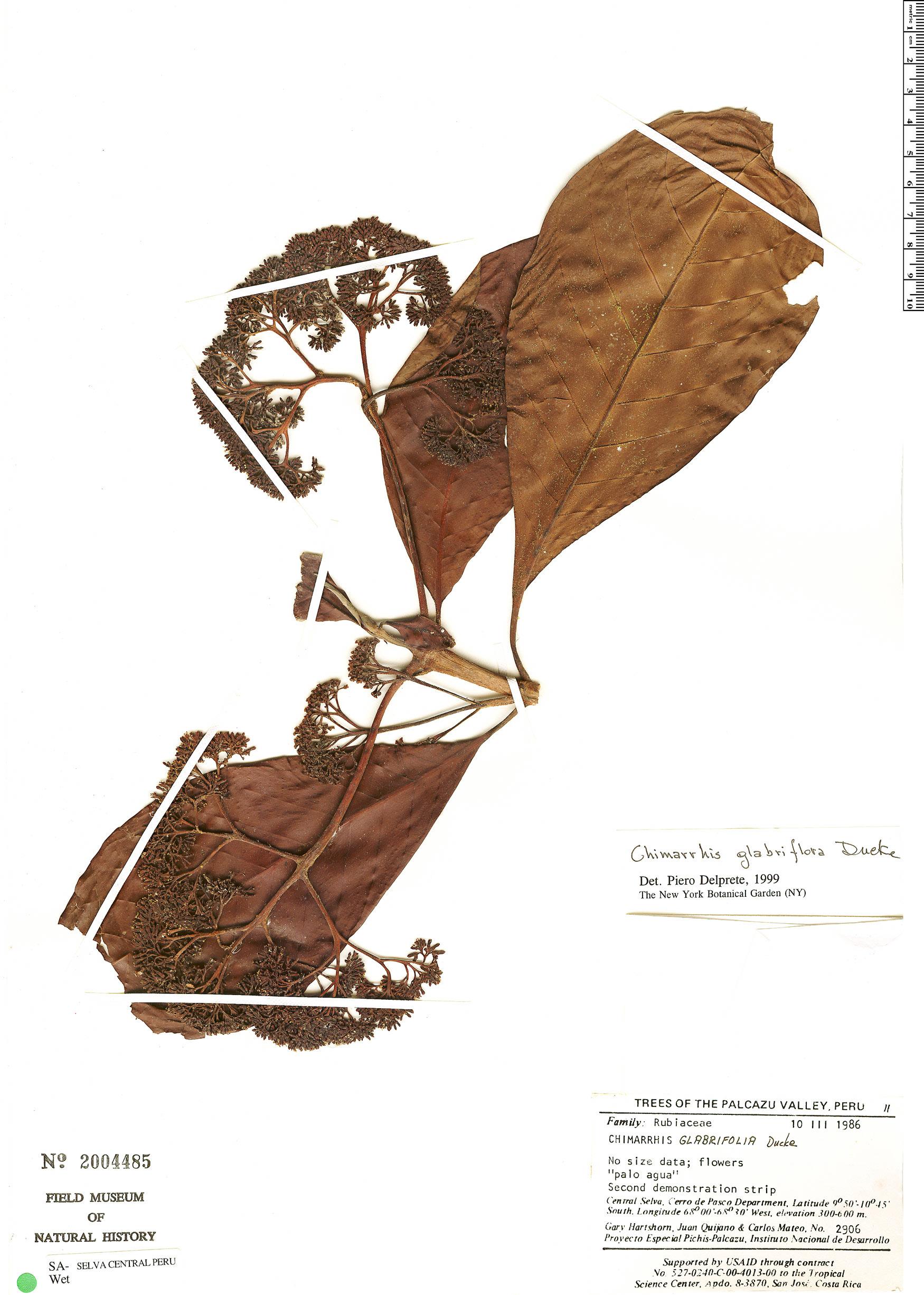 Specimen: Chimarrhis glabriflora