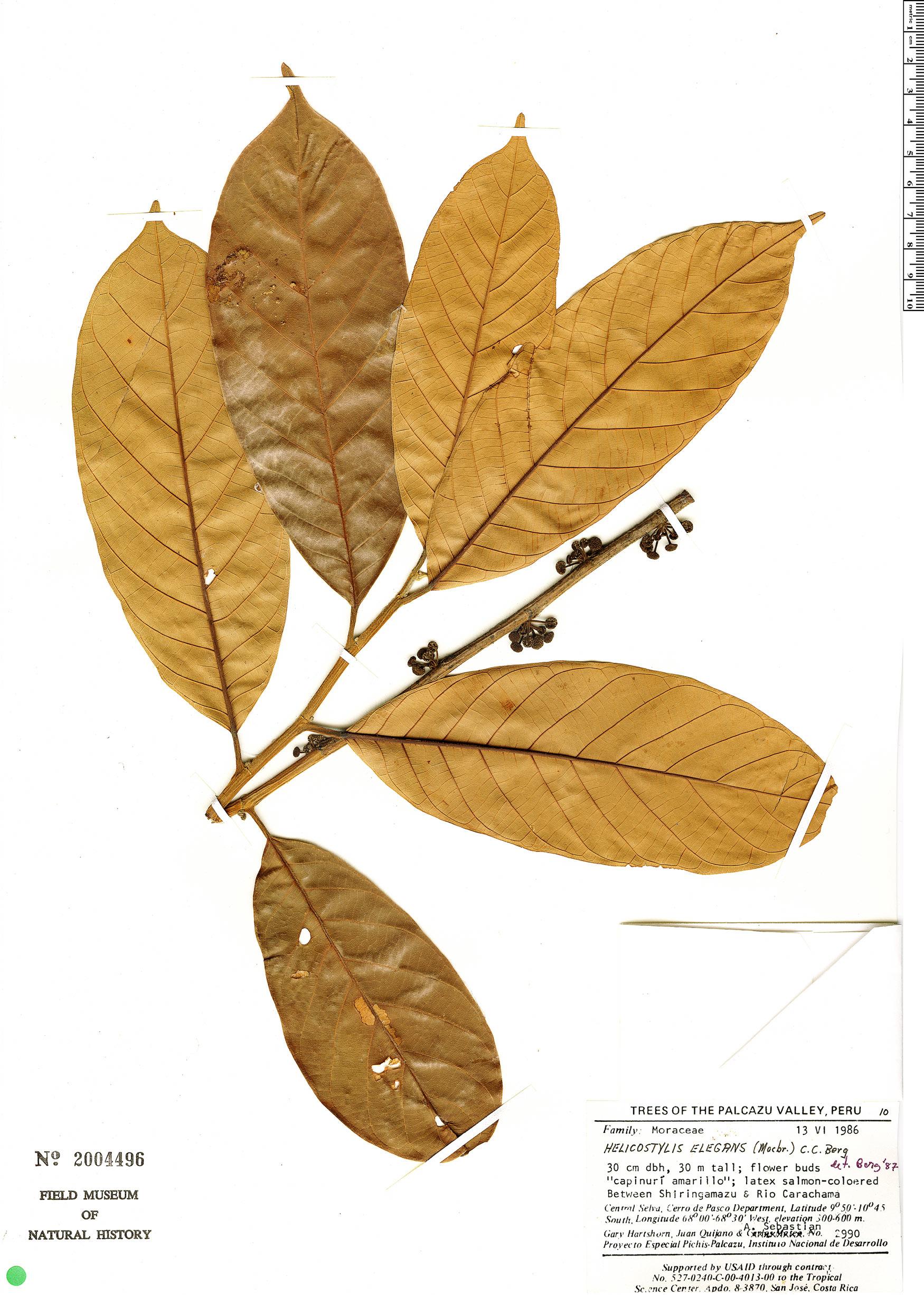 Specimen: Helicostylis elegans