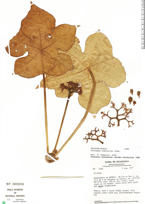 Espécimen: Jatropha podagrica
