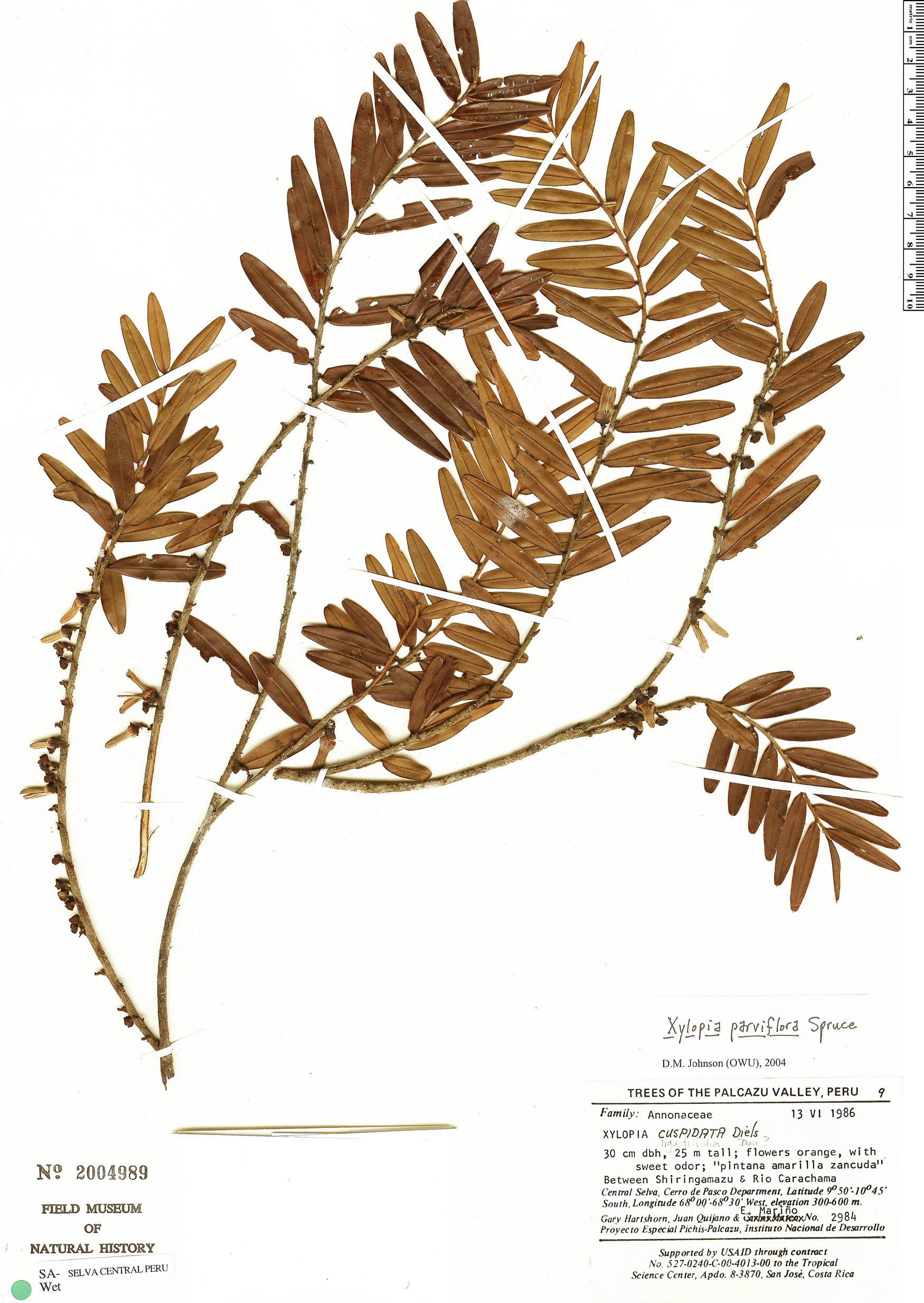 Specimen: Xylopia parviflora