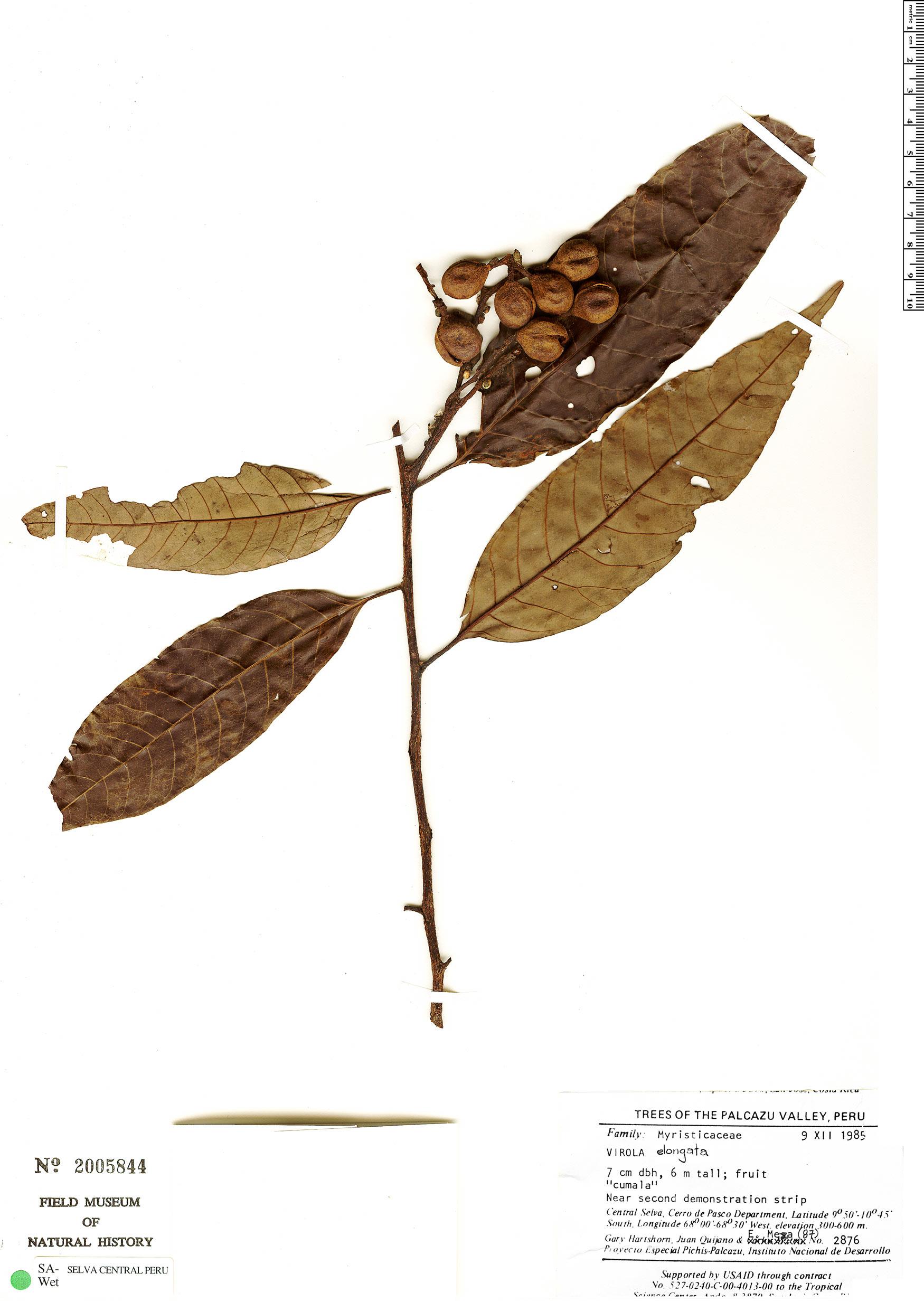 Specimen: Virola elongata
