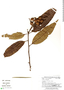 Virola elongata, Peru, G. S. Hartshorn 2876, F