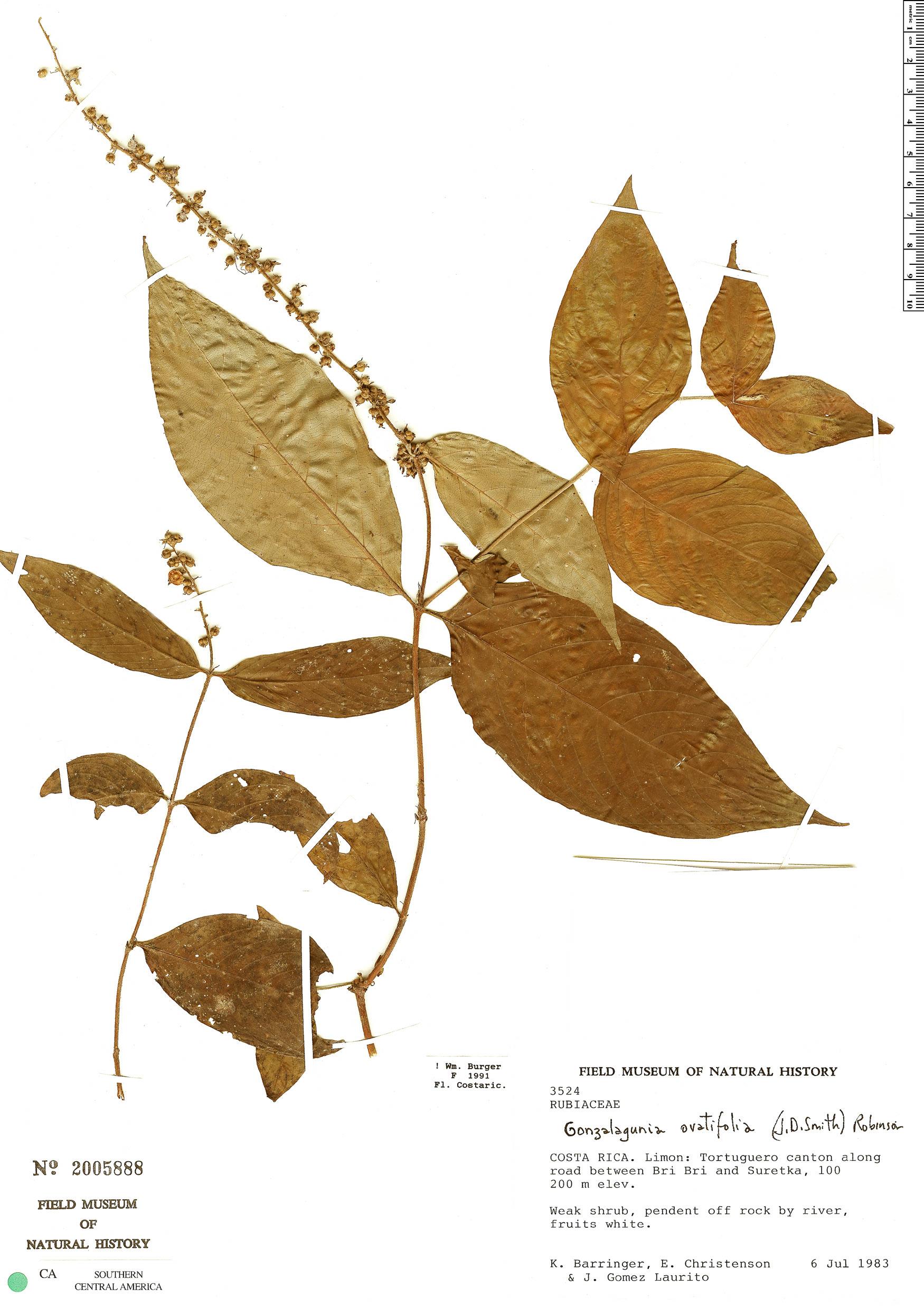 Specimen: Gonzalagunia ovatifolia