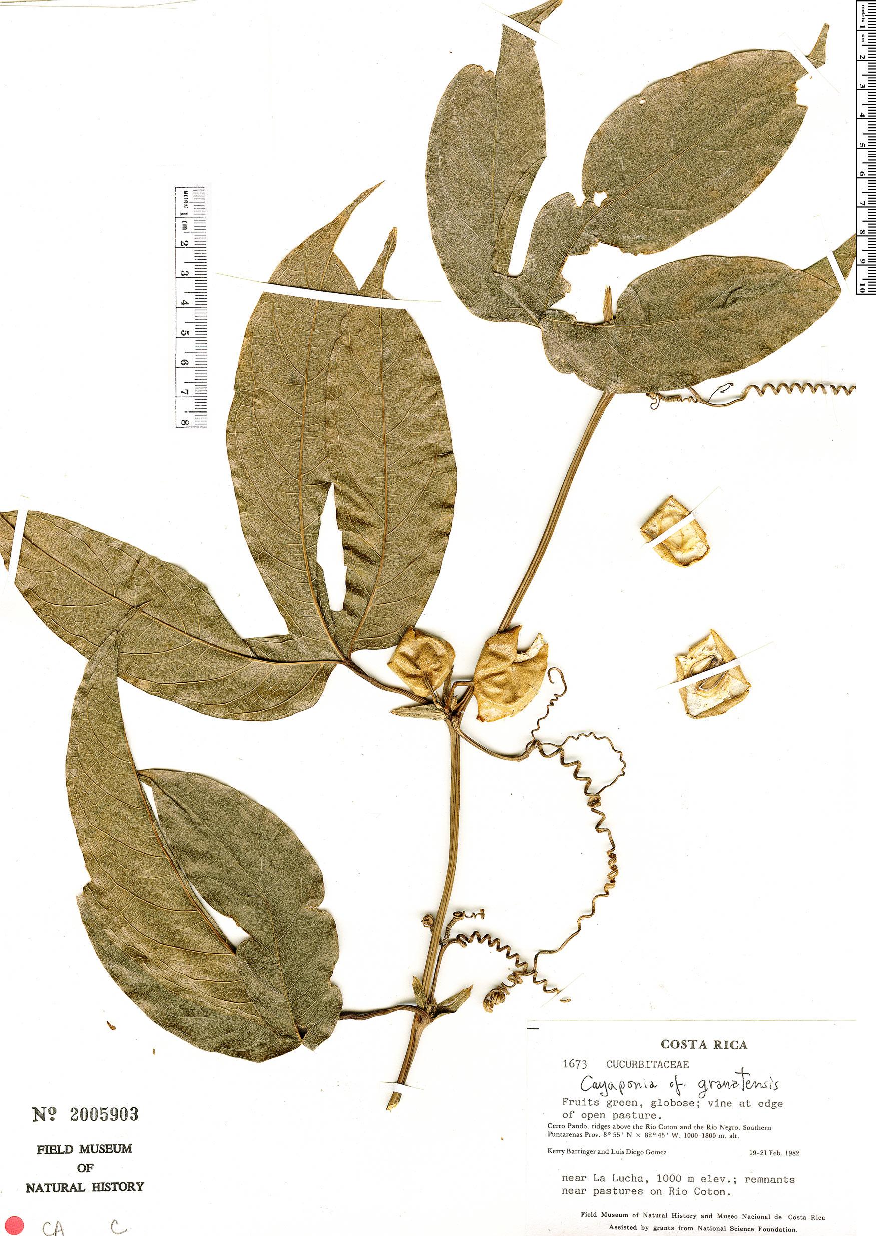 Specimen: Cayaponia granatensis