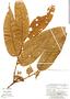 Virola sebifera, Peru, G. S. Hartshorn 2989, F