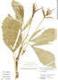 Reinhardtia simplex (H. Wendl.) Drude ex Dammer, Panama, H. A. Kennedy 1243, F