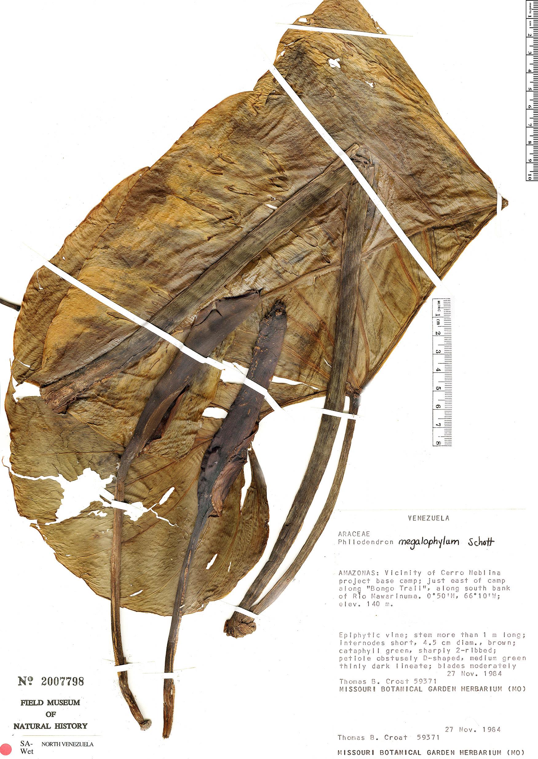 Specimen: Philodendron megalophyllum