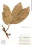Syzygium malaccense (L.) Merr. & L. M. Perry, Colombia, R. Fonnegra G. 2212, F