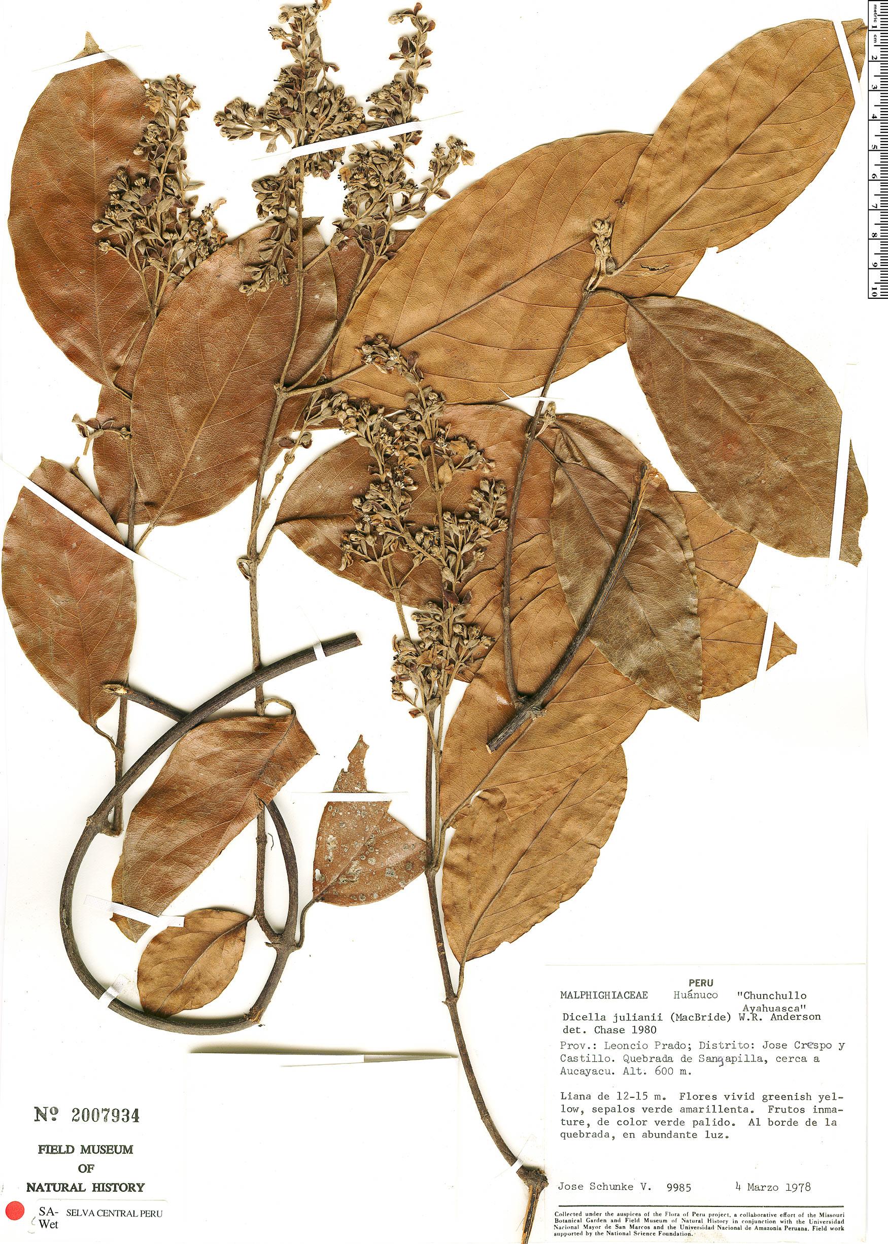 Specimen: Dicella julianii