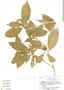 Psychotria pubescens Sw., Costa Rica, G. Webster 22191, F
