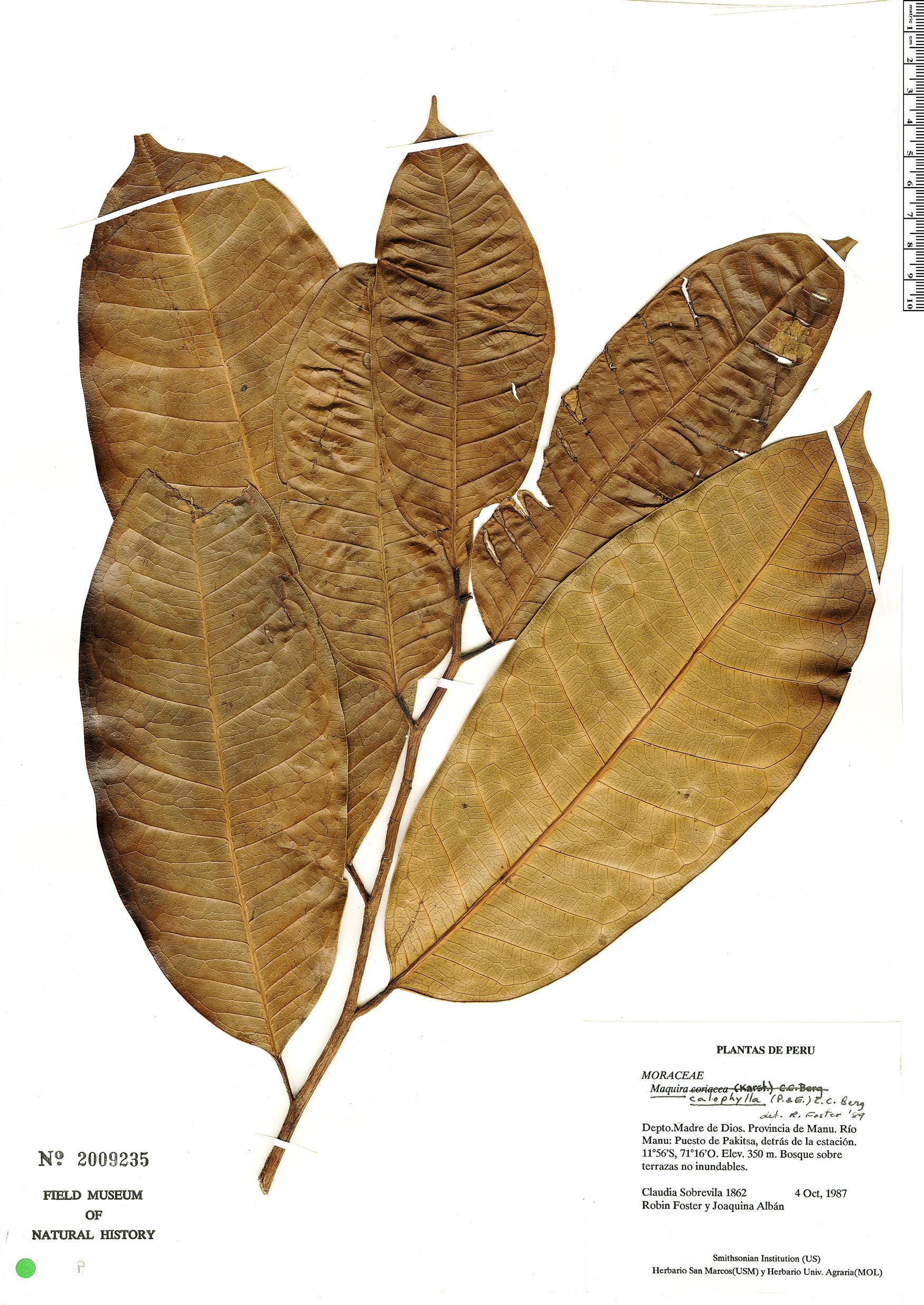Specimen: Maquira calophylla