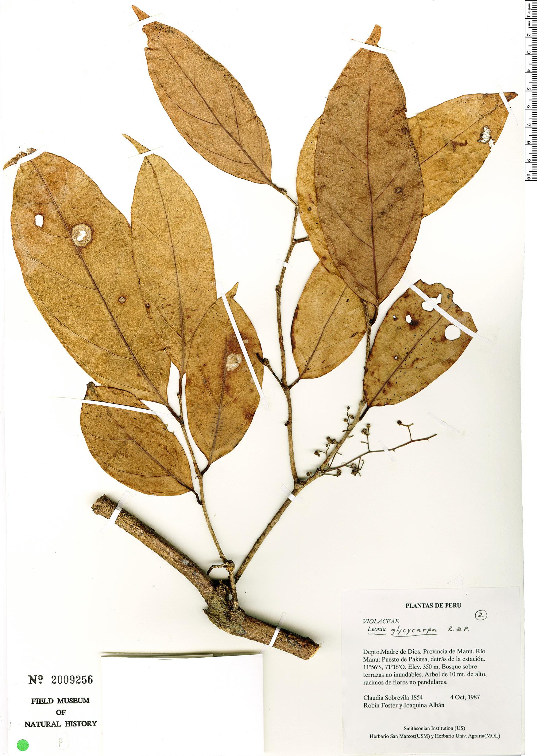 Specimen: Leonia glycycarpa