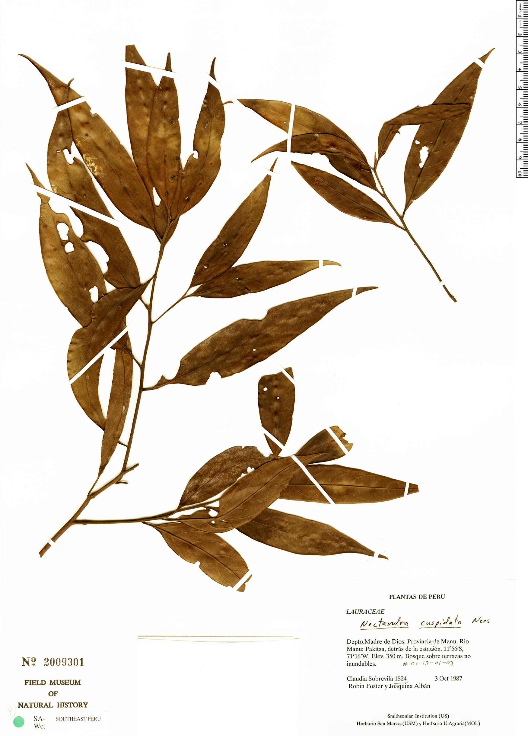 Specimen: Nectandra cuspidata