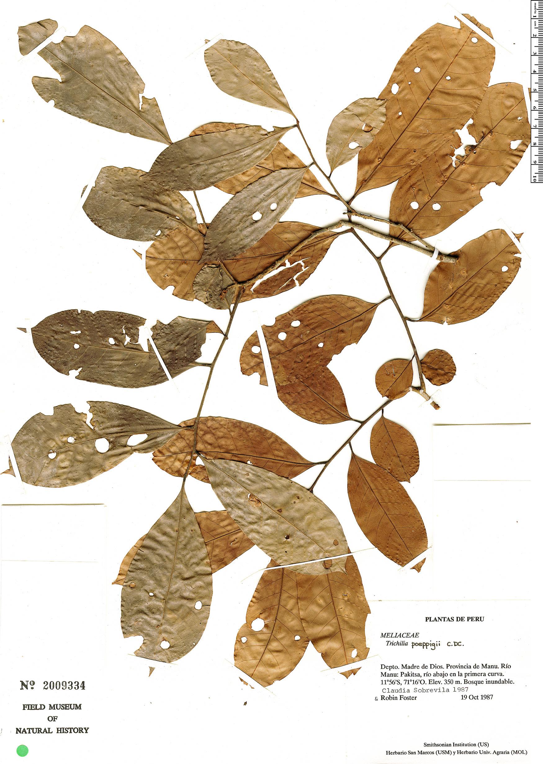 Specimen: Trichilia poeppigii