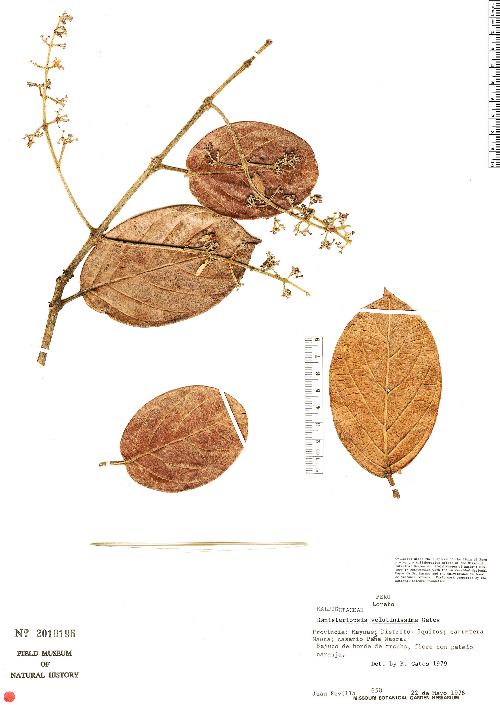 Specimen: Banisteriopsis velutinissima
