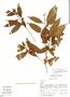 Cestrum microcalyx Francey, S. D. Knapp 6408, F