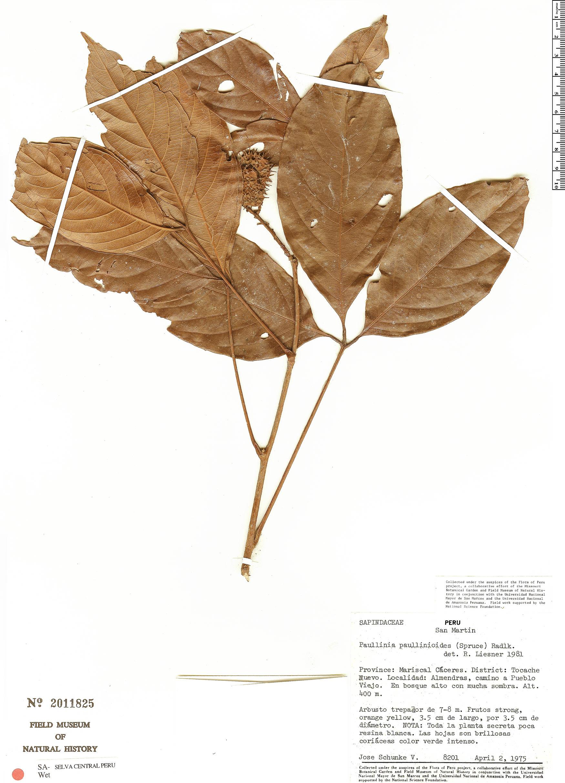 Specimen: Paullinia paullinioides