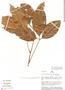 Paullinia paullinioides Radlk., Peru, J. Schunke Vigo 8201, F
