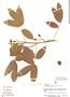 Paullinia reticulata Radlk., Peru, A. H. Gentry 16711, F
