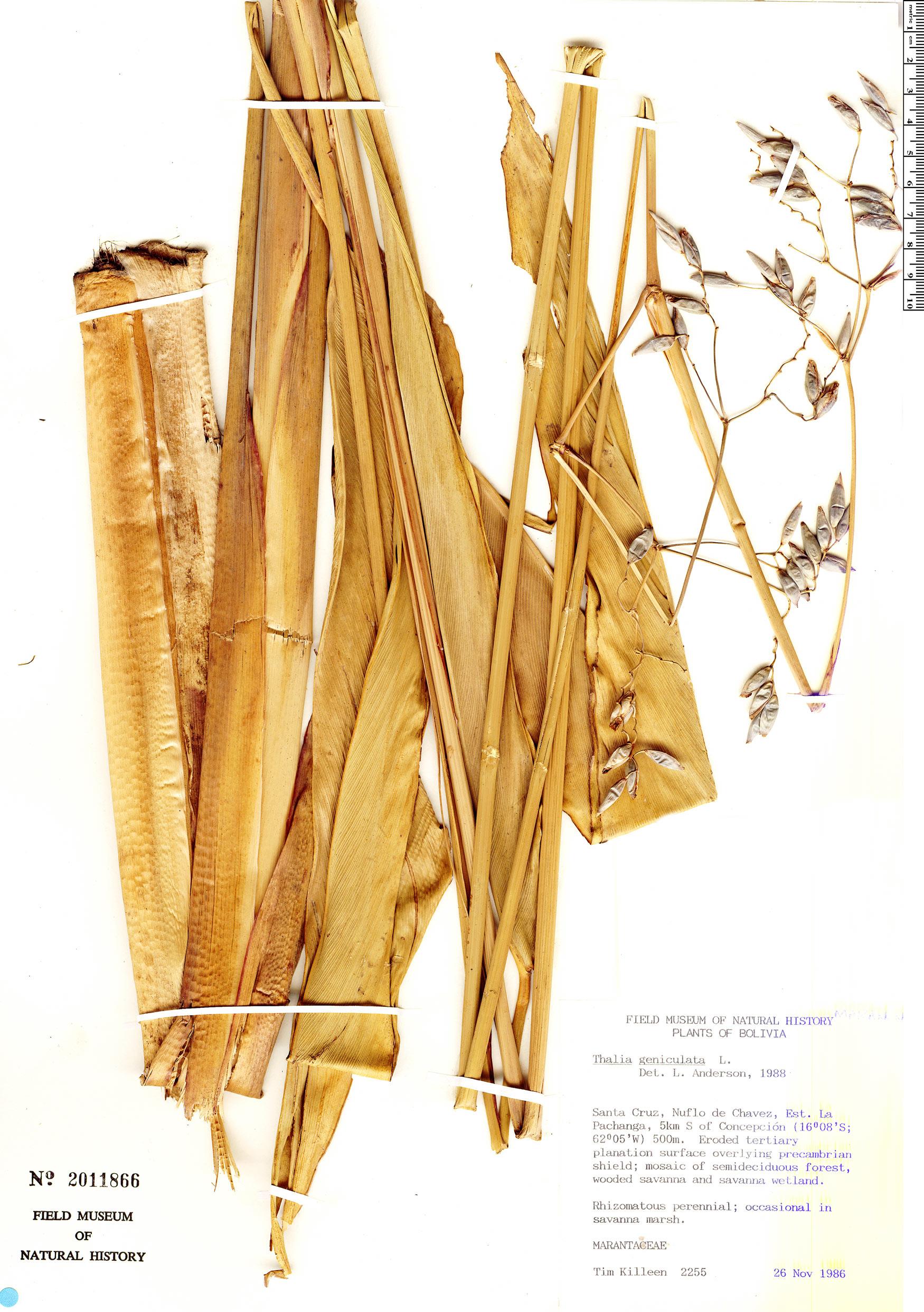 Specimen: Thalia geniculata