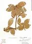 Paullinia subauriculata Radlk., Peru, F. Woytkowski 6531, F
