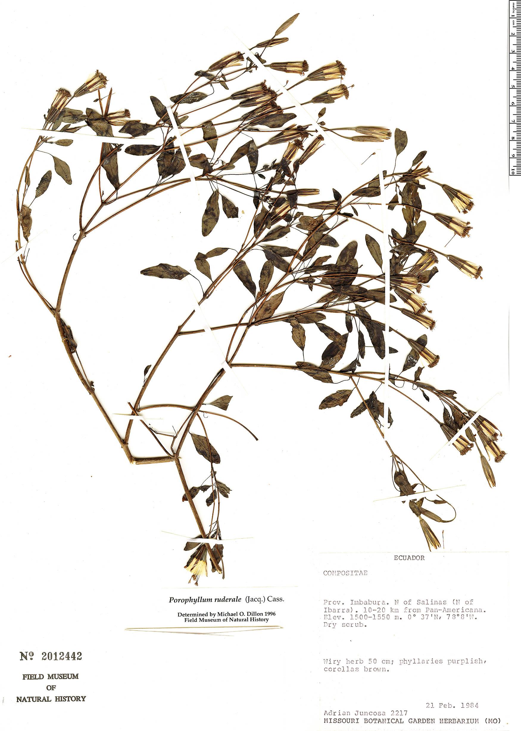Espécimen: Porophyllum ruderale