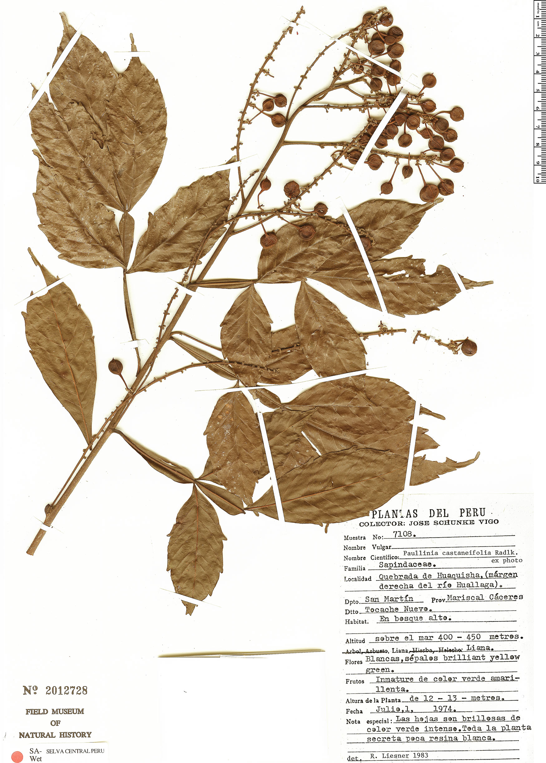 Espécimen: Paullinia castaneifolia