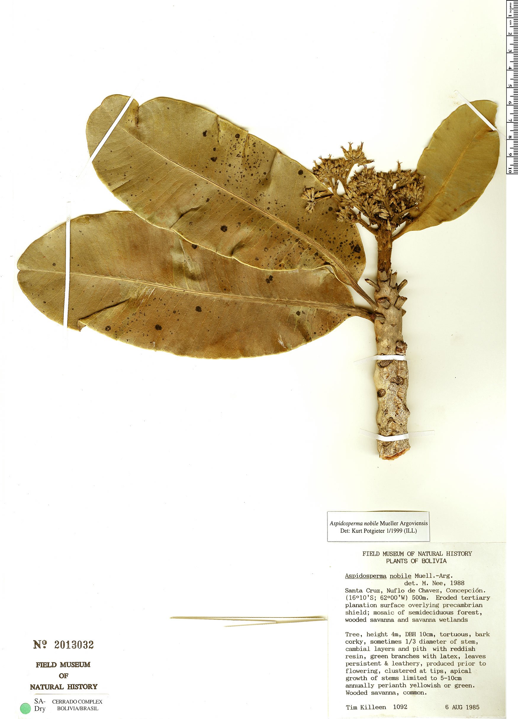 Specimen: Aspidosperma nobile