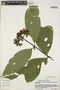 Palicourea lucidula Standl., Peru, S. F. Smith 288, F