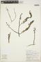 Utricularia foliosa L., PERU, Rod. Vásquez 114, F