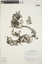 Utricularia hydrocarpa image