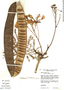 Delonix regia (Bojer & Hook.) Raf., Bolivia, T. J. Killeen 1335, F
