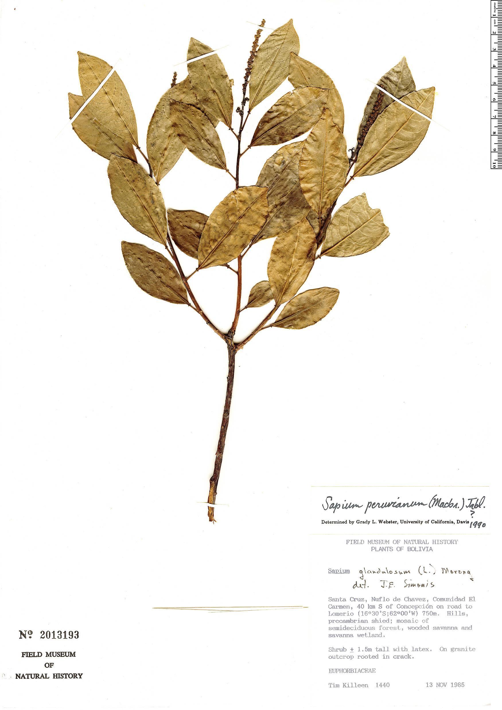 Specimen: Sapium peruvianum