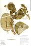 Aspidosperma nobile Müll. Arg., Bolivia, T. J. Killeen 2154, F