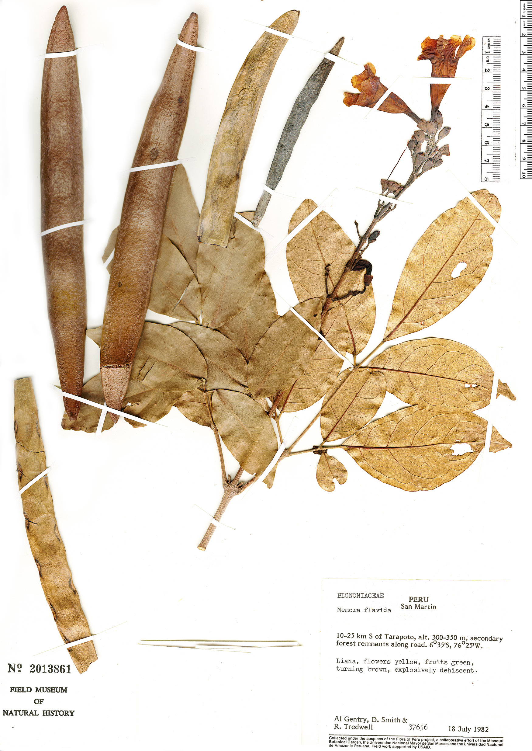 Espécimen: Adenocalymma validum
