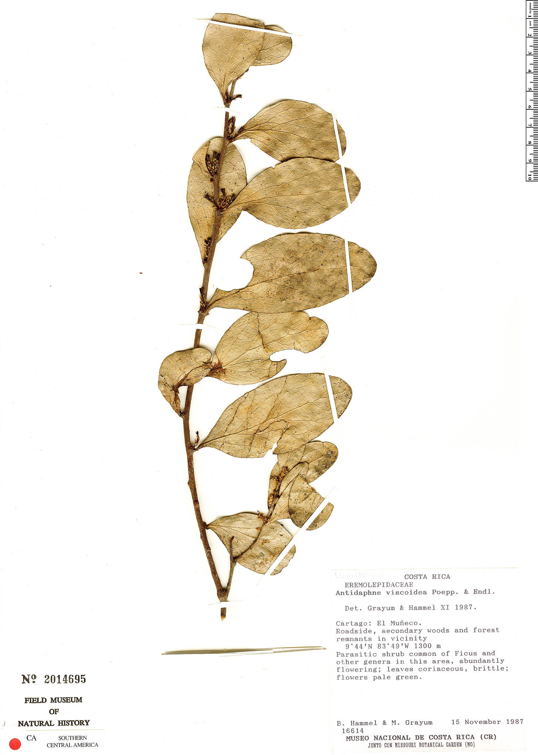 Antidaphne viscoidea image