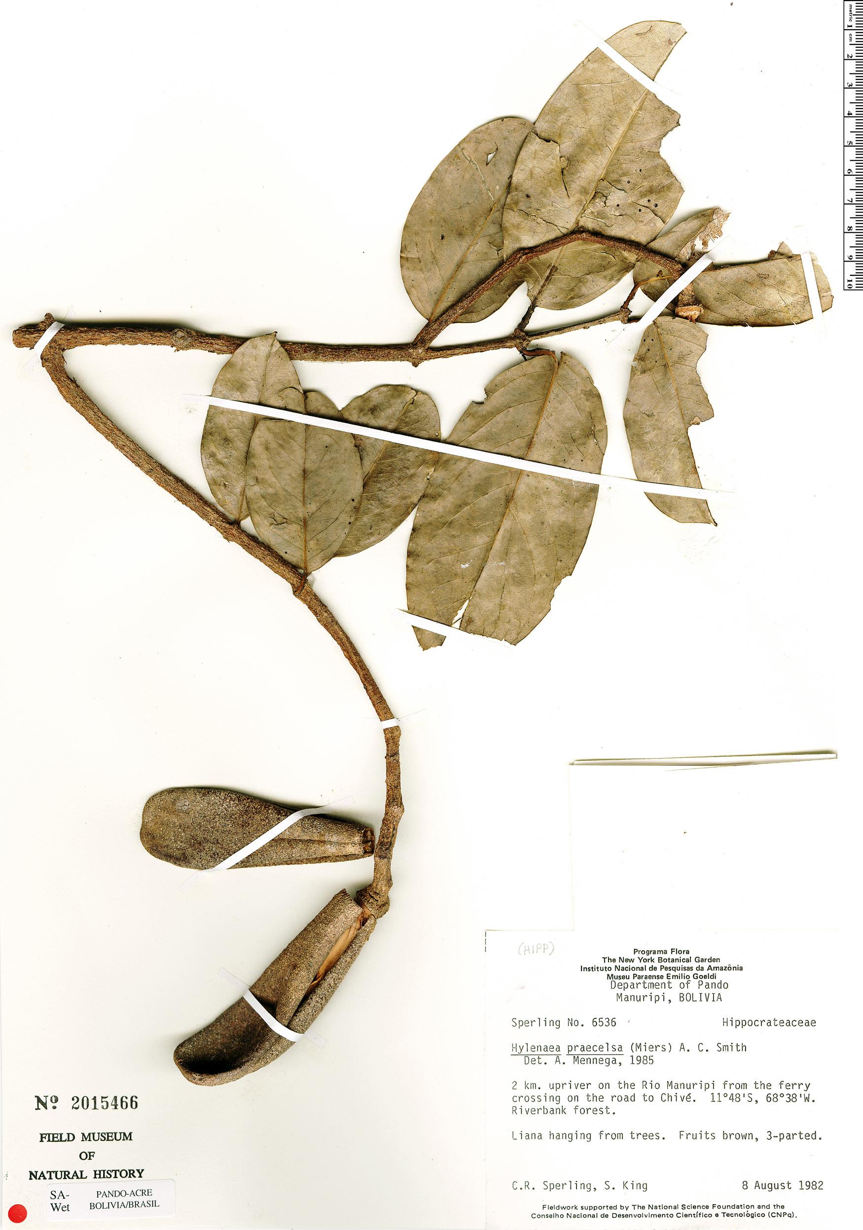 Espécime: Hylenaea praecelsa