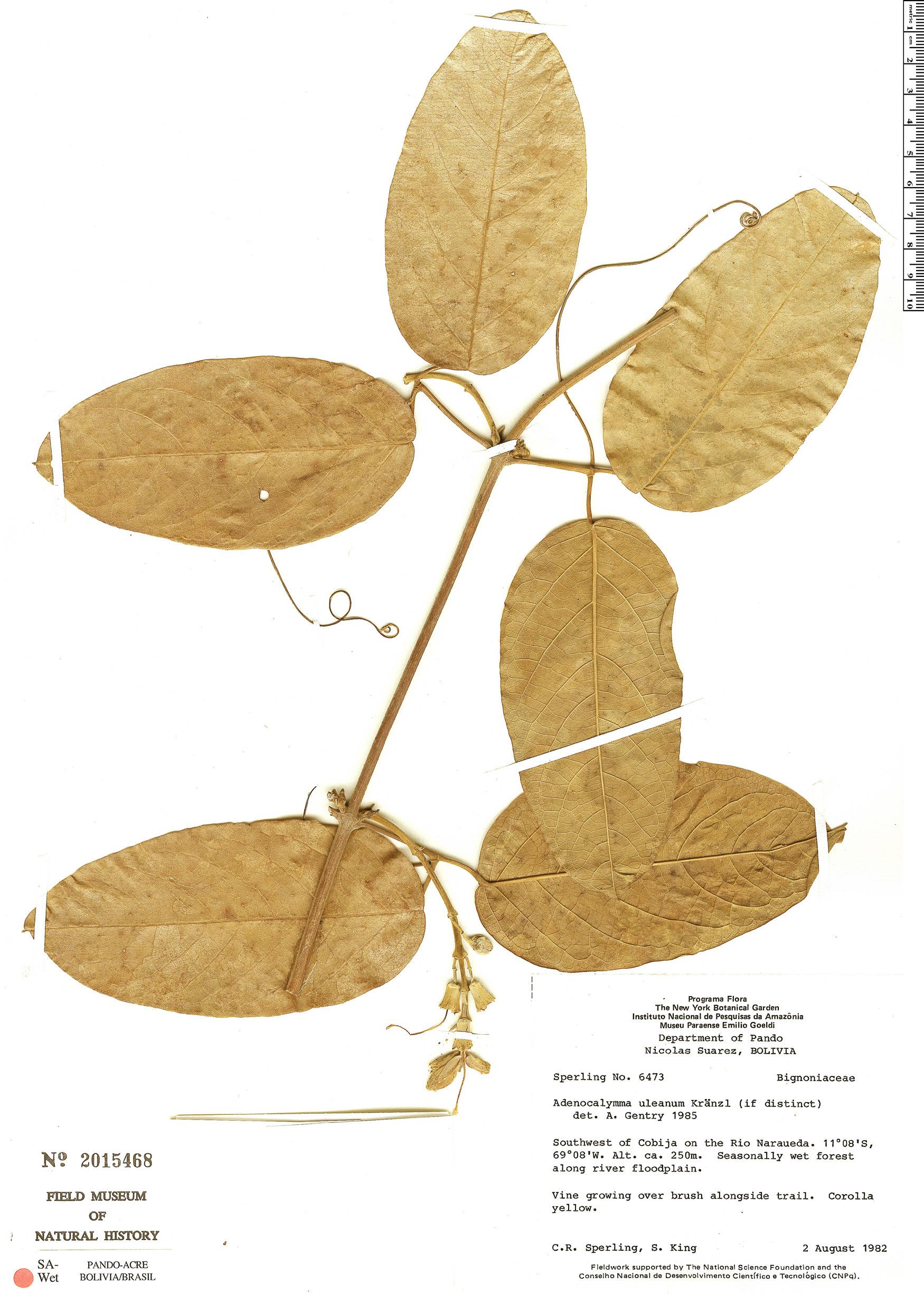 Specimen: Adenocalymma uleanum