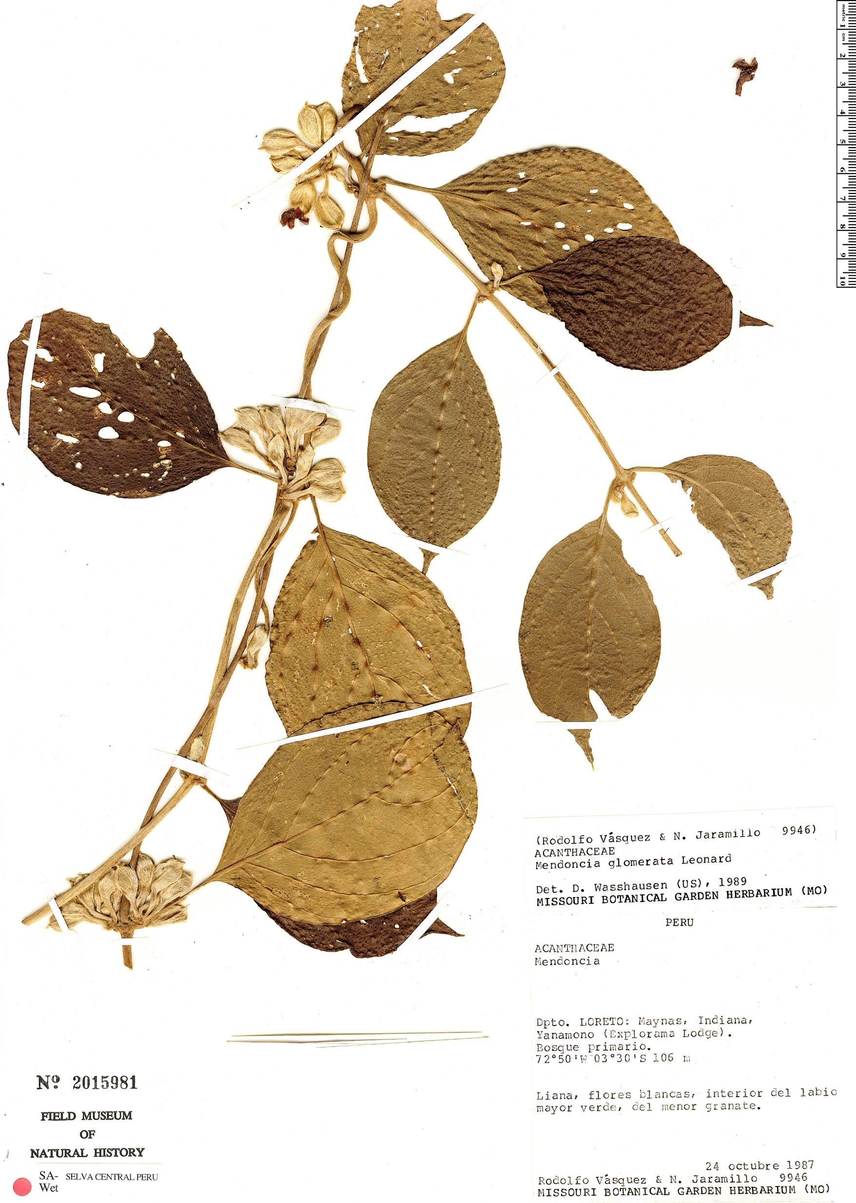 Espécimen: Mendoncia glomerata