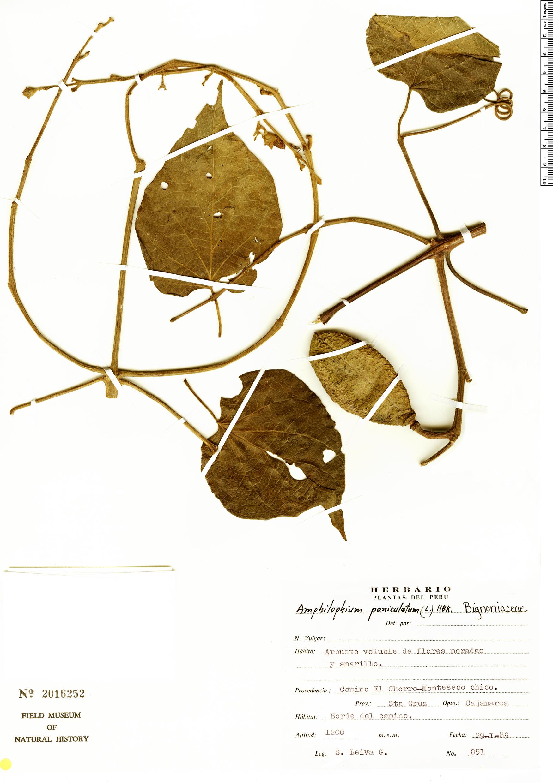 Specimen: Amphilophium ecuadorense