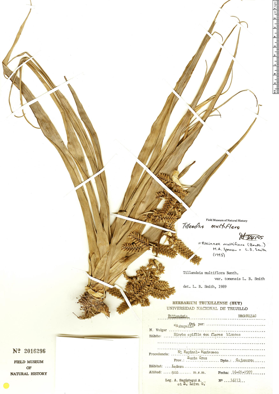 Specimen: Racinaea multiflora