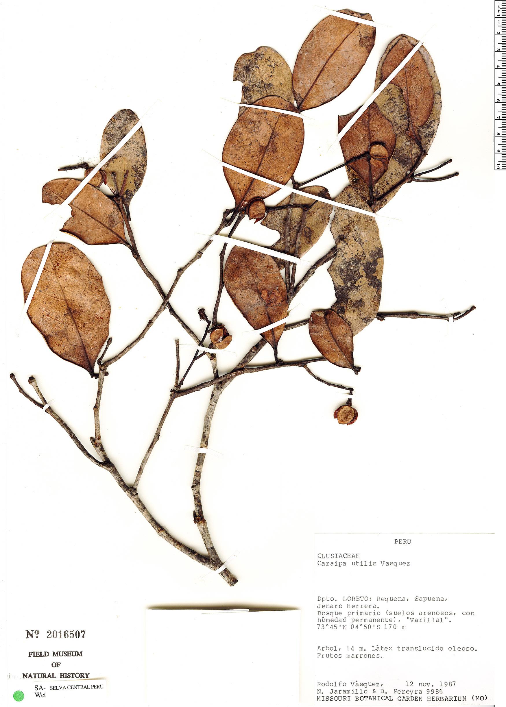 Specimen: Caraipa utilis