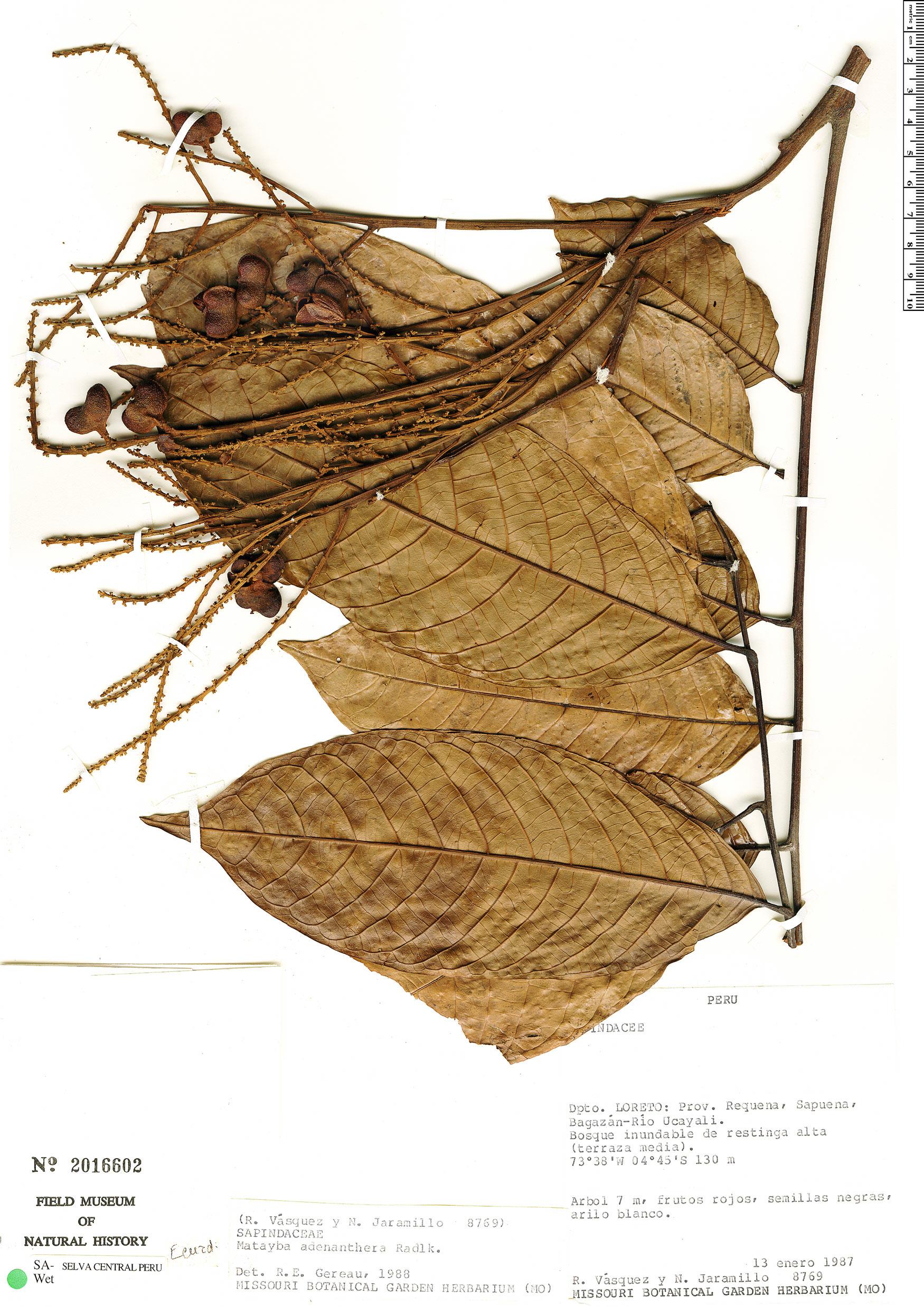 Specimen: Matayba adenanthera