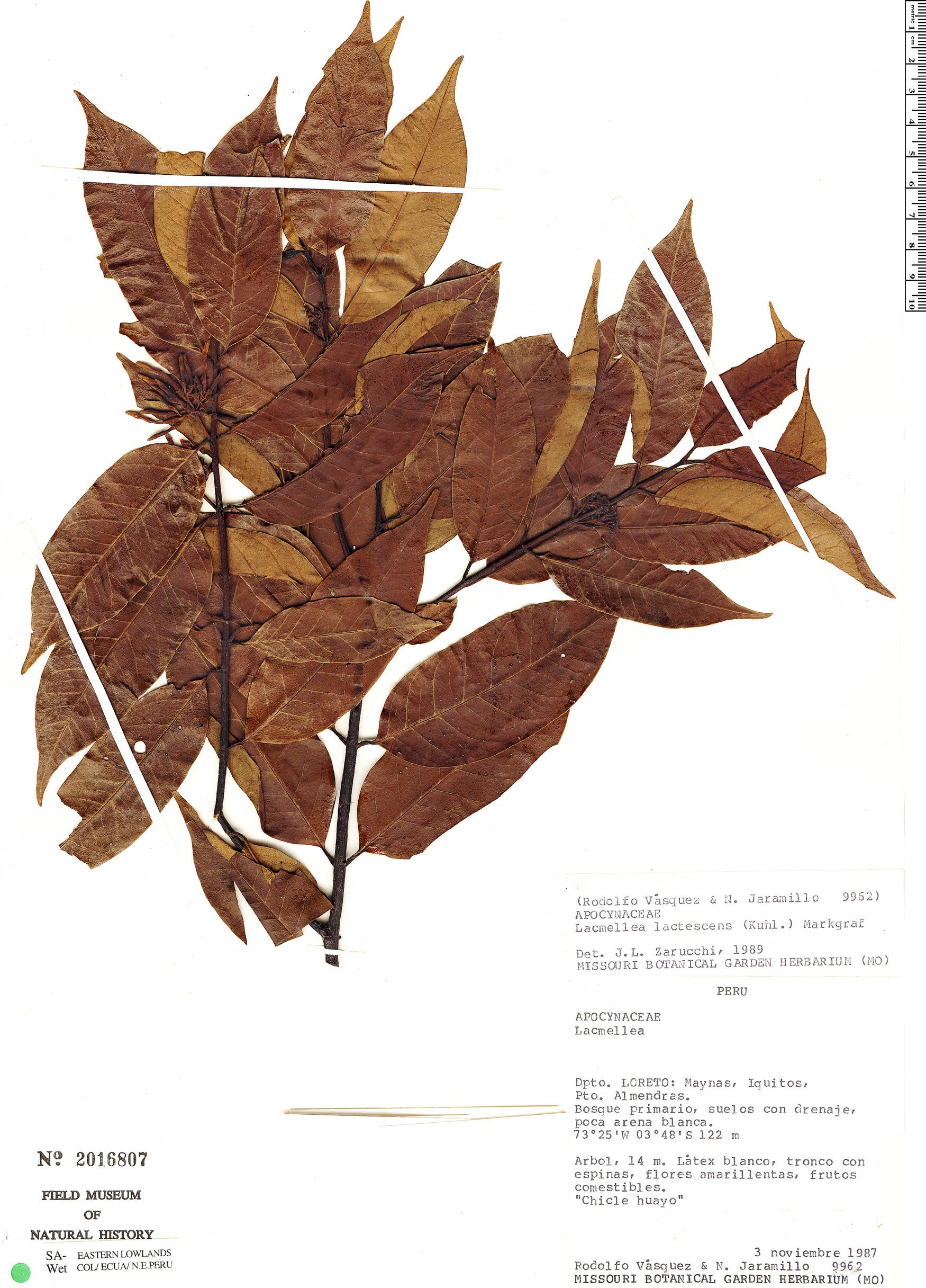 Specimen: Lacmellea lactescens