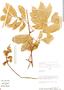Paullinia pachycarpa Benth., Peru, Rod. Vásquez 9200, F