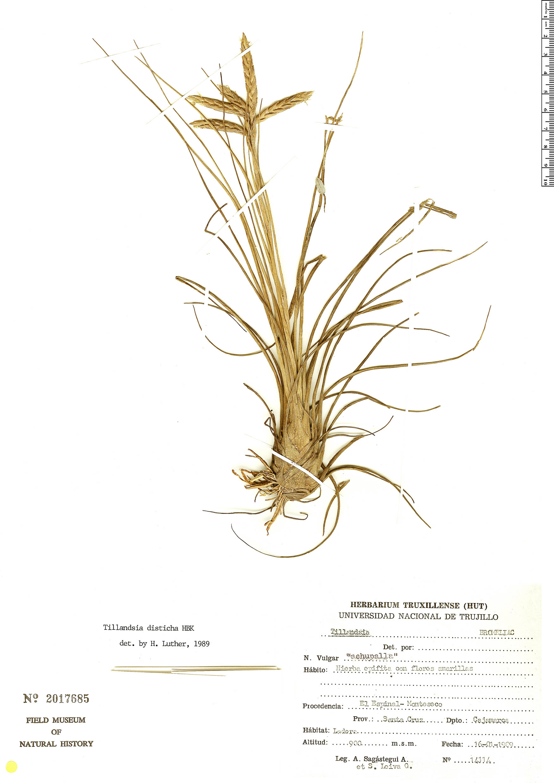Specimen: Tillandsia disticha